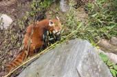 Red panda, Ailurus fulgens — Stock Photo