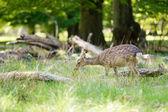 Female deer eating grass — Stock Photo