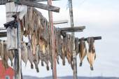 Greenland halibut drying on a wooden rack — Stock Photo