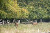Male red deer bellowing and chasing females — Stock Photo