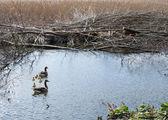 Family of greylag goose, anser anser — Stock Photo