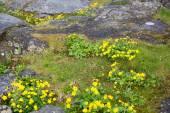 Caltha palustris or marsh marigold or kingcup — Stock Photo