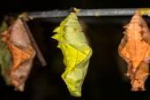 Butterfly Pupa, macro — Stock Photo