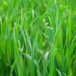 Grass background — Stock Photo #53804833