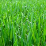 Grass background — Stock Photo #54788265