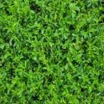 Green grass background — Stock Photo #75624207