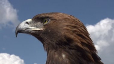 Bird of Prey in Profile — Stock Video