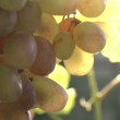 Sun in Bunches of Grapes. — Stock Video #54972663