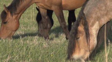 Лошади задевают молодую траву. — Стоковое видео