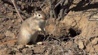 Ground squirrel Gopher — ストックビデオ