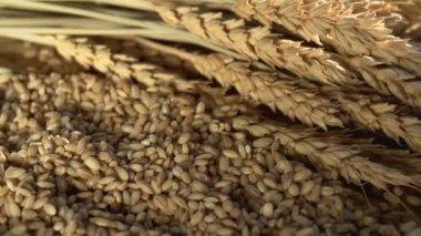 Harvest Season and wheat. — Vídeo stock