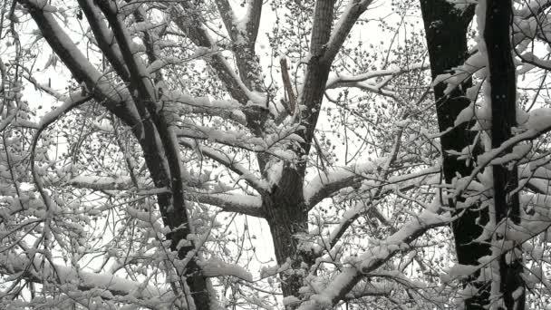 Forêt d'hiver après la chute de neige — Vidéo