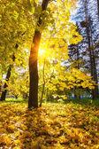 Maple tree in sunny autumn park — Zdjęcie stockowe