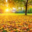Sunny autumn maple leaves — Stock Photo #55025763