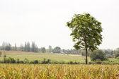 Tree alone in the farm — Stock Photo