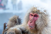 Snow monkey Macaque Onsen — Stock Photo