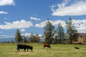 Cattle in a farm — Stock Photo