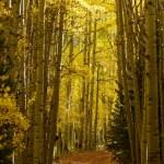 Autumn aspen trees — Stock Photo #59910745