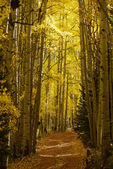 Autumn aspen trees — Stock Photo
