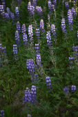 Lupine flower — Stock Photo