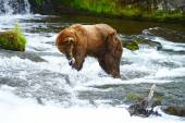 Grizzly bear hunting salmon — Stock Photo