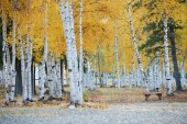 Aspen autumn — Stock Photo