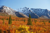 Denali fall colors — Stock Photo