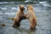 Grizzly bear fight — Stock Photo