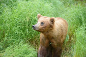 Bear cubs in katmai — Stock Photo