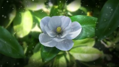 Growing magnolia flower time lapse animated concept background — Stock Video