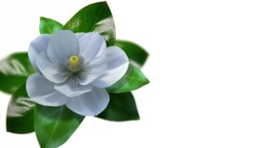 Growing magnolia flower time lapse with isolated mask — Stock Video