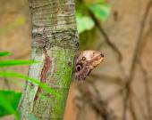 Owl butterfly on a tree — Stock Photo