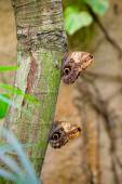 Two large Owl butterflies — Stock Photo