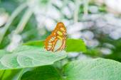The Malachite Butterfly on leaf — Stock Photo