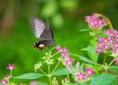 Black butterfly feeding — Stock Photo