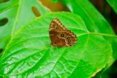 Blue Morpho butterfly on a leaf — Stock Photo