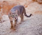 Wild cat approaching — Stock Photo