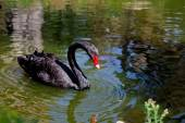 Amazing black swan looking at its reflection — Stock Photo
