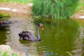 Black swan swimming along a pond — Stock Photo