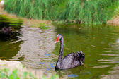 Black swan on the pond — Stock Photo