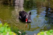 Black swan bending its neck — Stock Photo
