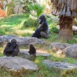 Family of gorilla monkeys — Stock Photo #71342891