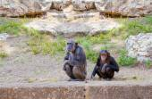 Couple of chimpanzees — Photo