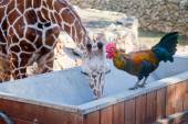 Rooster and giraffe drinking together — Stock Photo