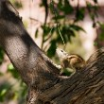 Постер, плакат: Eastern Chipmunk posed on tree