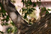 Eastern Chipmunk posed on tree — Stock Photo