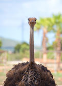 Ostrich walking in national park. Struthio camelus. — Stock Photo
