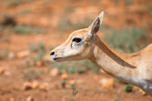 Young antilope walking in national park. — Stock Photo