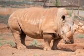 Rhino in national park. Family Rhinocerotidae. — Zdjęcie stockowe