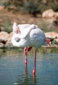 White flamingos in the pond in national park. — Stockfoto